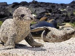 Obalovaný lachtánek (lachtan kalifornský, Galapágy, Ekvádor). Rychle se učit je