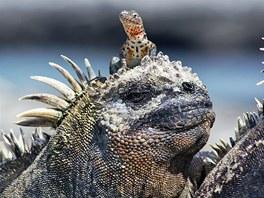 David a Goliáš (ještěrka lávová na hlavě mořského leguána, Galapágy, Ekvádor).