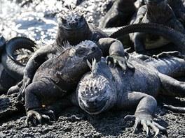 Bratrstvo (mořský leguán, Galapágy, Ekvádor). V některých místech na Galapágách