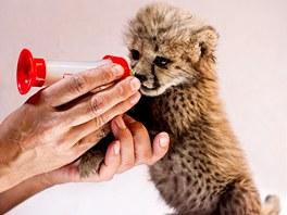 Krmení mláděte geparda v zoo ve Dvoře Králové nad Labem. (12. 6. 2013)
