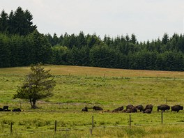Stádo bizonů u Rožnova
