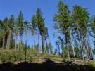 Nařezané stromy v lese Chlívce v CHKO Broumovsko