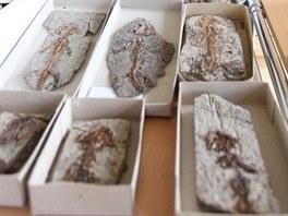 Zkameněliny z období prvohor nalezené v Podkrkonoší.