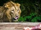 Lev indický Brahma v Zoo Dvůr Králové nad Labem.
