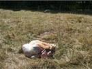 Přímo na pastvě u Budišova na Třebíčsku neznámí pytláci usmrtili dvě jalovice.
