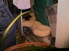 Pozor na úklid v kůlně. Muže na Floridě vylekal čtyřmetrový had.