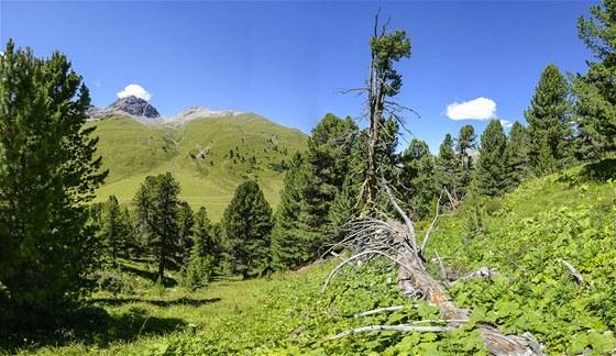 Les borovic limb God da Tamangur