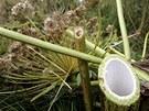 Detail stvolu useknutého bolševníku, jehož rostliny ve čtvrtek likvidoval v