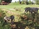 Právě narozené mládě zebry Grévyho muselo vyšplhat z příkopu (10.8.2013).