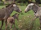 Právě narozené mládě zebry Grévyho. Matka jej chránila před ostatními členy