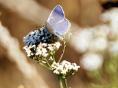Modrásek jehlicový, jeden z našich běžných druhů motýlů, sedá na řebříček...