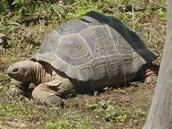 Letos v srpnu začaly želvy obrovské z plzeňské zoo poprvé chodit i do