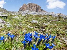 Kvetoucí hořce jarní pod horou Piz Lischana