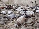 Snímek z 24. srpna ukazuje mrtvé holuby ve východním předměstí Damašku. Podle...