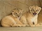 Nově narozená lvíčata vzácného lva berberského v zoo na Svatém Kopečku u