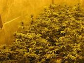 Výrobci marihuany ustoupily od obřích pěstíren k mnohem menším
