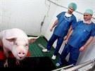 Transplantace srdeční chlopně z geneticky modifikovaného prasete na prase.