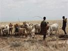 Pastevci vedou dobytek k vodě rozlité u vrtu. (Keňa, září 2013)