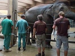 Příprava na vyšetření březí slonice Vishesh.