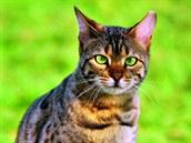 Nejkrásnější MAZLÍČCI, Bengálská kočka