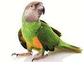 Nejkrásnější MAZLÍČCI, Papoušek senegalský