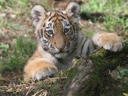 Tygří mláďata se křestu přímo neúčastnila, podle zoologa už pořádně škrábou a...