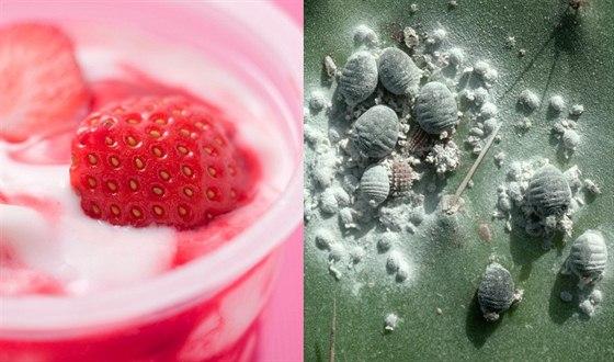 Červec nopálový je sice součástí přírody, ale proč ho  jíst v jahodovém jogurtu?
