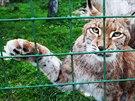 Rys patří k nejohroženějším kočkovitým šelmám na světě.