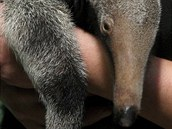 V zoologick� zahrad� se ml�d� tohoto druhu narodilo ji� pot�et�, nikde jinde...