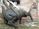 Jenže sotva se býk dotkl země, začal jančit a z popruhů se sám uvolnil. (15.