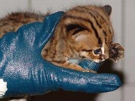 První veterinární kontrola mláděte vzácné kočky odhalila pohlaví: je to samička!
