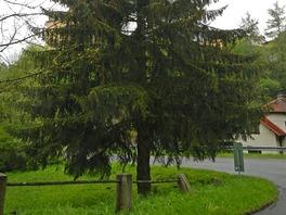 Strom pro Vánoční trhy na Staroměstském náměstí, který letos pochází z