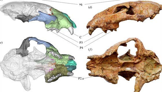 Nalezená lebka Panthera blytheae a její počítačový model.