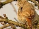Pěnice malá, jež se poprvé objevila v České republice. Ornitologové ji viděli v...