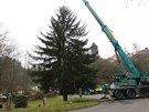 Kácení vánočního stromu pro Prahu v Ratajích nad Sázavou.