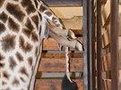 Jubilejní 250. mládě žirafy v zoo ve Dvoře Králové.