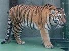 Samec tygra ussurijského Amur, jenž od víkendu sídlí v olomoucké zoo na Svatém...
