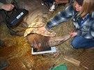 Německý specialista Timo Zwick trhal zuby samici nosorožce dvourohého Joly v...
