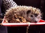 Ve zvířecích záchranných stanicích se nyní nejčastěji starají o ježky.