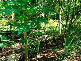 """Permakultura """"v akci"""". Najdete zde ananas, papayu, moringu, kokosovou palmu,..."""