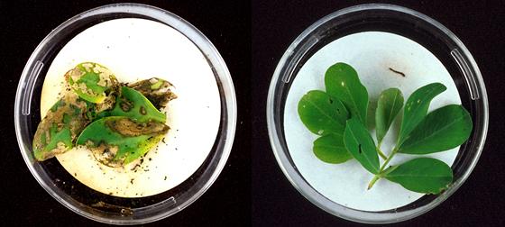 Ukázka dnes úspěšné technologie genetických modifikací. Vlevo je běžná rostlina...