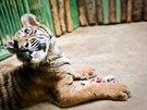 Pětiměsíční mládě tygra sumaterského v pražské zoo
