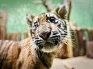 Pětiměsíční mládě tygra sumaterského z pražské zoo
