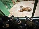 Pětiměsíční mládě tygra sumaterského se při svém představení v pražské zoo...