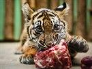 Pětiměsíční mláděte tygra sumaterského v pražské zoo.