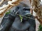 Shinda stejn� jako ostatn� gorily zbo��uje ostru�inov� listy a je j� �pln�...