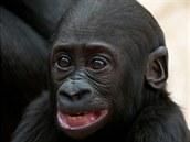Kiburi zkouší, co všechno lze dělat s obličejem. Mláďata to často zkoumají a...