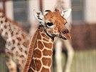 Mládě žirafy Lentilka ve výběhu