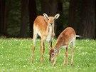 Vodušky červené na safari.