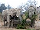 Sloni Saly, Umbu a Kito si v dvorské zoo pochutnali na vánočních smrčcích. Pak...